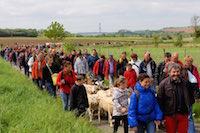 Les chèvres ont regagné le coteau calcaire pour y passer l'été. Près de 400 personnes ont accompagné les éléveurs sur plusieurs kilomètres entre l'église du village et la réserve.<br />PHOTO JOHAN BEN AZZOUZ / LA VOIX DU NORD